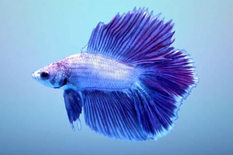 7 Dicas para Manter seu Peixe Beta Saudável