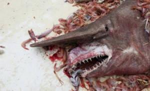 tubarão-duende morto num barco de pesca