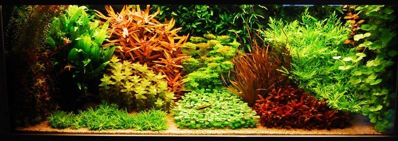 aquário com estilo dutch (holandês) de aquapaisagismo