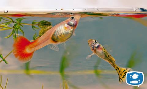 Como Alimentar Seu Peixe