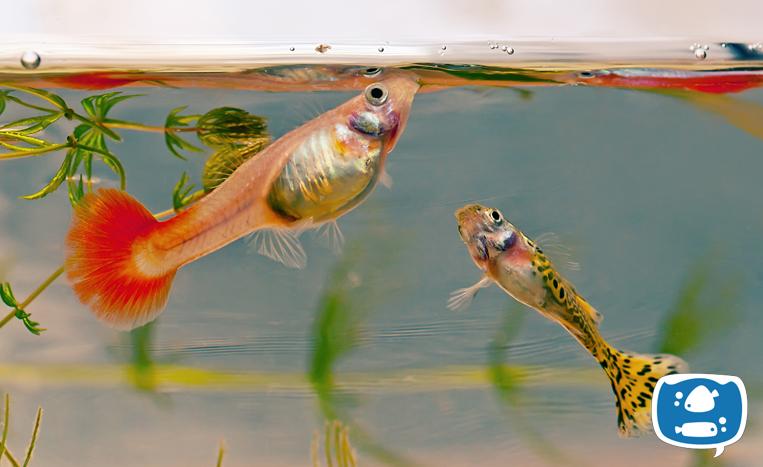 Peixes se alimentando no aquário