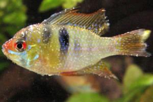 peixe com manchas brancas no corpo