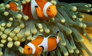 dois peixes-palhaço fazendo simbiose em uma anêmona