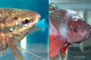 dois peixes com infecção