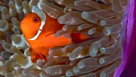 Simbiose: Uma Relação Importante entre Peixes e Anêmonas