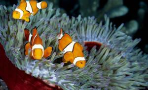 três peixes-palhaço fazendo simbiose com duas anêmonas
