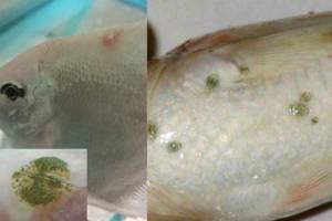 peixe com manchas