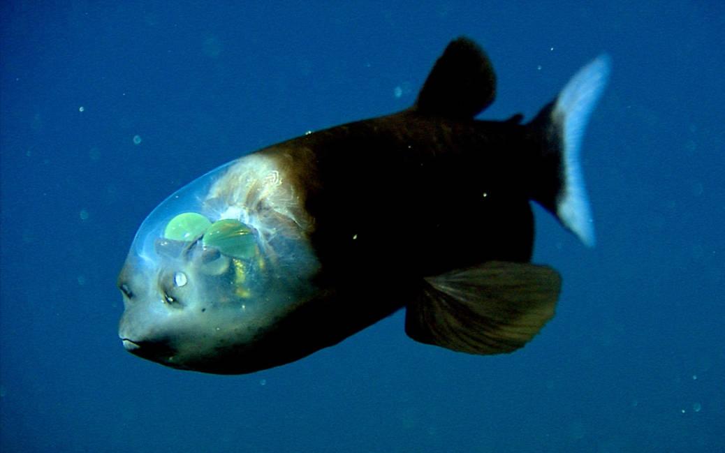 peixe-olhos-de-barril (Macropinna microstoma) com sua cabeça transparente
