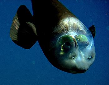 peixe-olhos-de-barril (Macropinna microstoma) com seus olhos verdes visto por cima