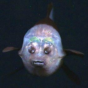 imagem frontal do peixe-olhos-de-barril mostrado sua boca e narinas