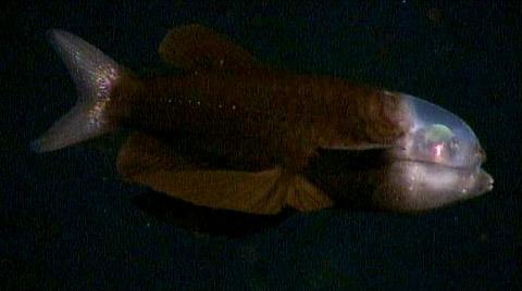 vista lateral do peixe-olhos-de-barril (Macropinna microstoma)