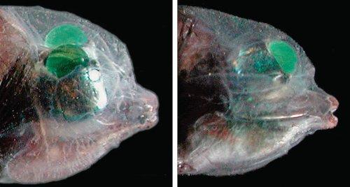 foto lateral do peixe-olhos-de-barril-barreleye-side mostrando os olhos verdes