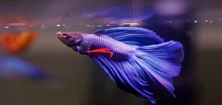 peixe beta azul se alimentando