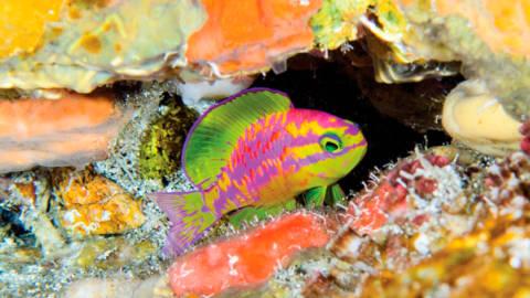Tosanoides aphrodite: Nova Espécie de Peixe Descoberta