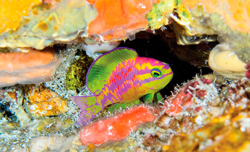 tosanoides aphrodite, o peixe afrodite