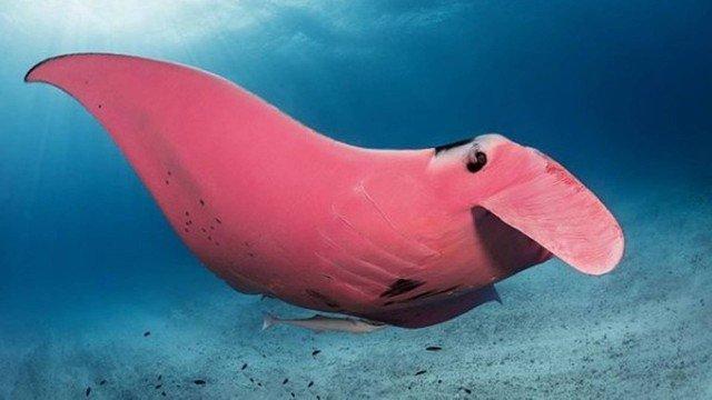 arraia manta rosa no fundo do mar