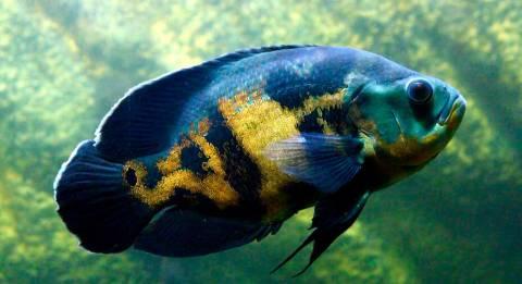 peixe oscar