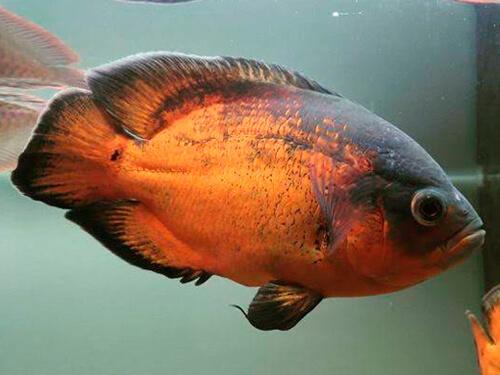 peixe oscar bronze