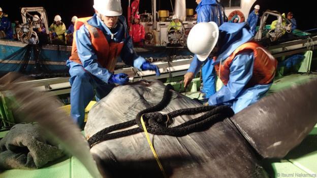 pesquisadores acoplando equipamentos no peixe-lua (Mola mola)