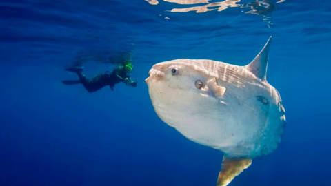 Peixe-lua: O Maior Peixe Ósseo do Mundo