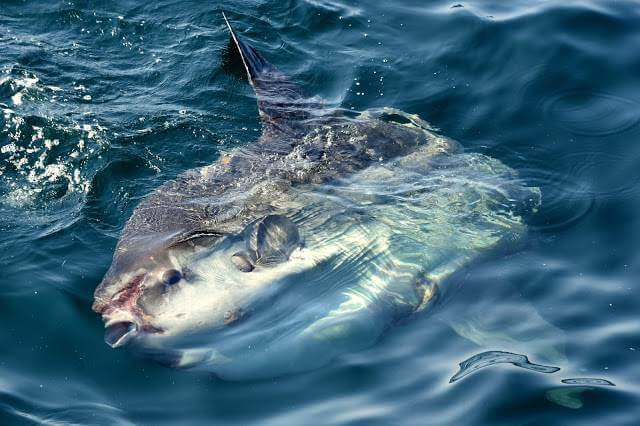 peixe-lua (Mola mola) nadando de lado na superfície do mar