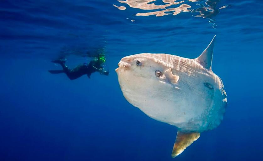 peixe-lua (Mola mola), conhecido também como Sunfish