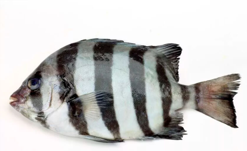 peixe ishidai, conhecido também como peixe de bico listrado