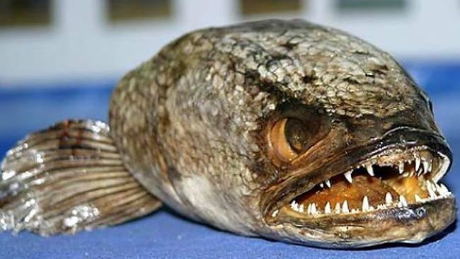 peixe cabeça-de-cobra