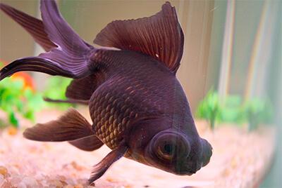 peixe kinguio telescópio no fundo do aquário
