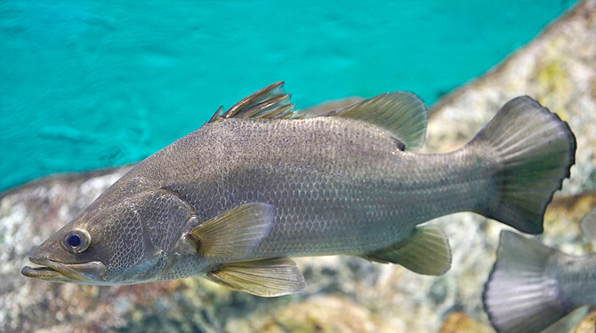 peixe perca do nilo