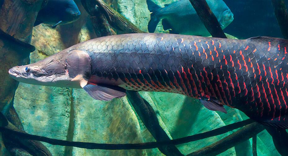 peixe pirarucu