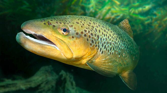peixe salmão siberiano
