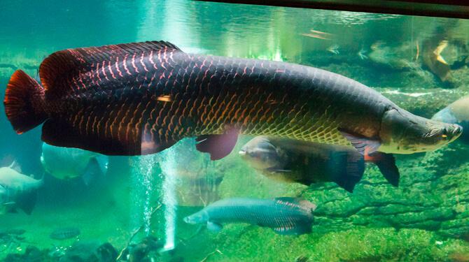peixe pirarucu nadando no aquário