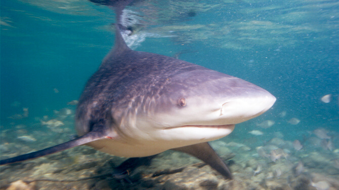 tubarão cabeça chata