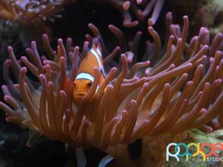 peixe-palhaco-anemona